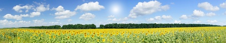 crop circle: Amazing panoramic view  field of sunflowers by summertime.