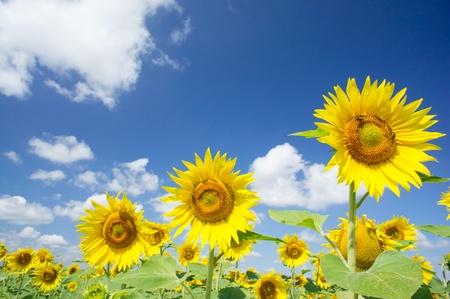 Fine sunflowers and fun sun in the sky. Stock Photo