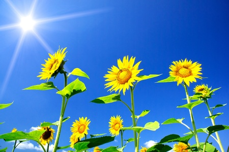 Fine sunflowers and fun sun in the sky. Stock Photo - 10094315