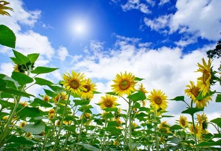 Plantation of sunflowers and blue sun sky. photo