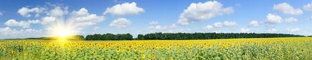 によって夏のヒマワリの素晴らしいパノラマの景色のフィールドです。