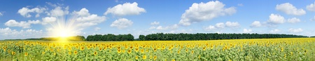 panoramic: Wonderful  panoramic view  field of sunflowers by summertime.
