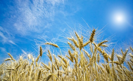 Golden, ripe wheat against blue sky background. photo