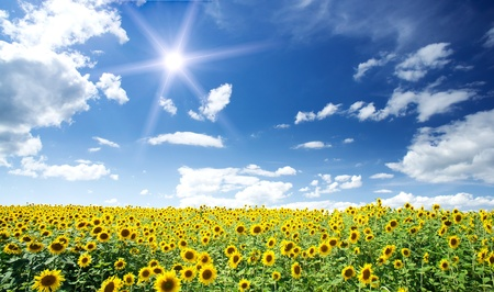 Nice summer field of sunflowers and sun in the blue sky.