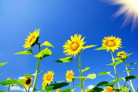 Fun sunflowers growth against blue sky and sun. photo