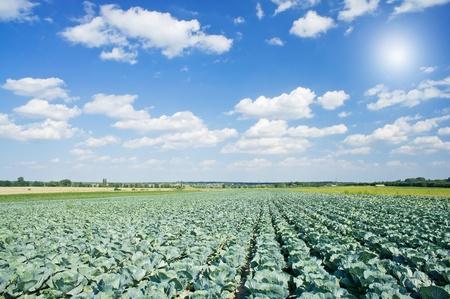 Wonderful plantation of green cabbage.