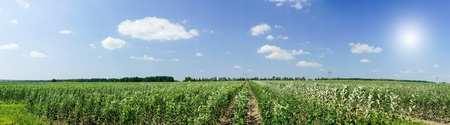 Panoramic view of young apple orchard and blue sky. photo