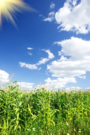 Green field of young corn under blue sky and sun.