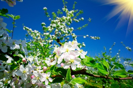 A blooming branch of apple  in spring   Stock Photo - 13540793