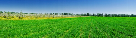 Panorama of apple garden and green field by spring  photo