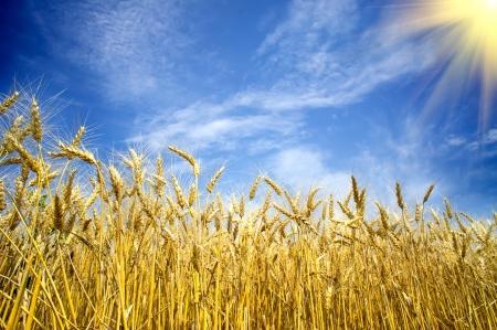 Golden, ripe wheat against blue sky background.