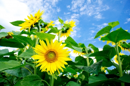 Fun sunflowers  by summertime  Stock Photo - 14371291