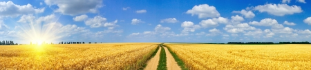 green wheat: Panoramic view of golden wheat field  by summertime.