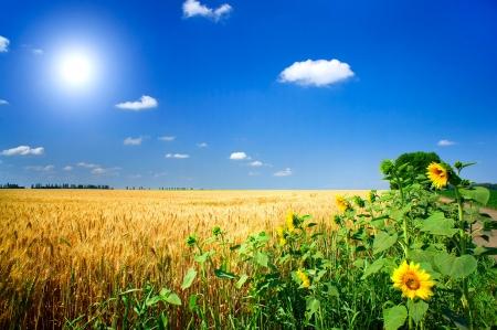soleil rigolo: Paysage d'�t� incroyable avec le champ de c�r�ales, le tournesol et le soleil amusant. Banque d'images