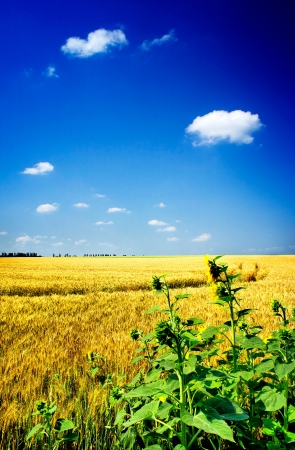 Amazing summer landscape with cereals field and sunflowers     photo