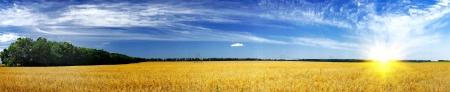 Oats field and sun. photo