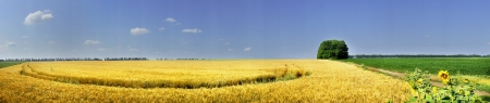 Panoramic summer landscape with cereals field                photo