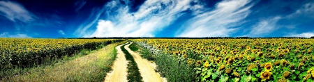 panoramic: Country road and sunflowers