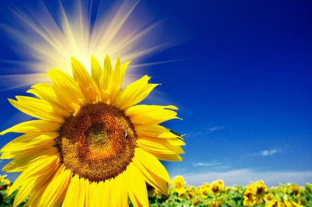 Fine sunflowers and fun sun in the sky  photo