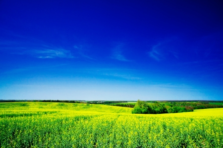 Rapeseed field in the beautiful springtime  photo