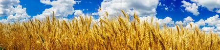 ripened: Ripened wheat against blue sky background.