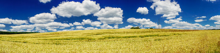 ripened: Panorama of ripened wheat field.