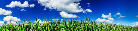 panoramic nature: Green field of young corn under blue sky and sun.