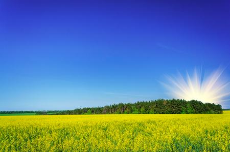 copse: Fine field  of yellow rapefield and green copse.
