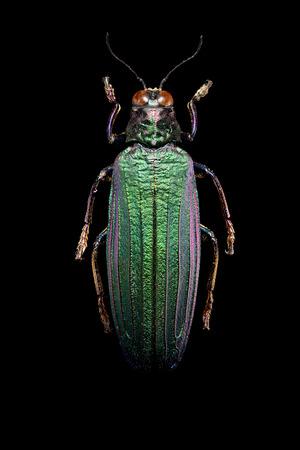 Jewel beetle on black background