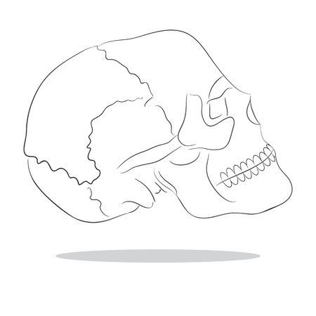 sketch illustration of isolated human scull