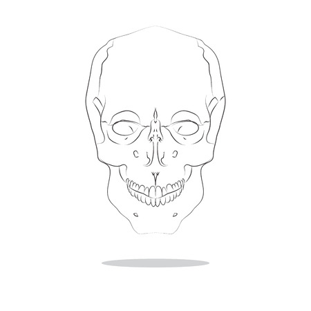 scull: sketch illustration of isolated human scull