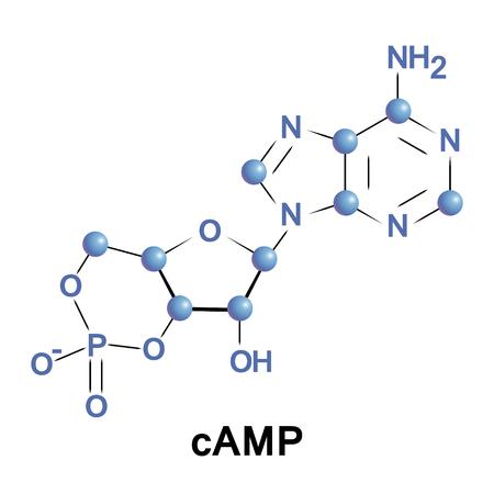 L'adénosine monophosphate cyclique est un second messager important dans de nombreux processus biologiques.