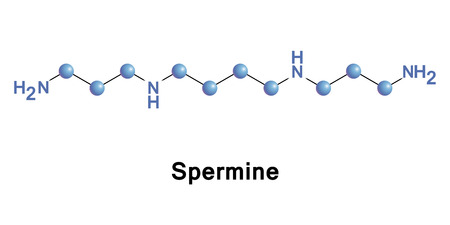 A Spermine is a polyamine involved in cellular metabolism found in all eukaryotic cells. Illustration
