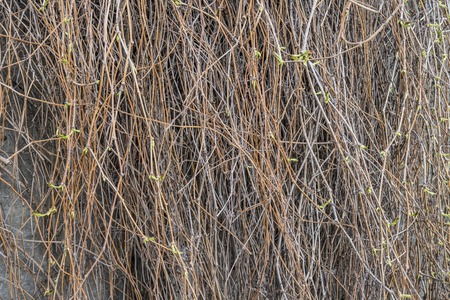 Texture of dried ivy