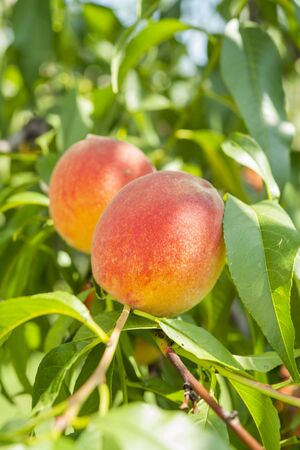 peach fruits on the tree in the garden in summer