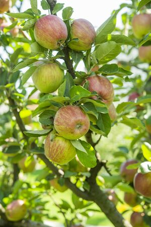 fresh delicious apples on a tree in the garden 写真素材