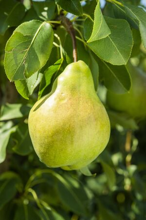 pear fruit on the tree in the garden in summer