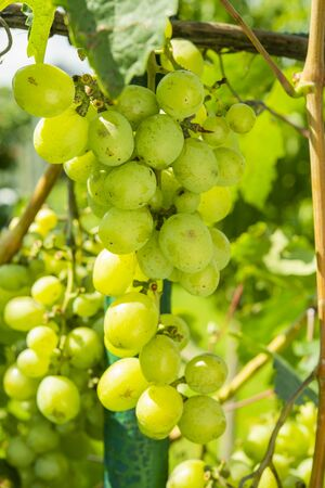 green grapes growing on a bush on a farm
