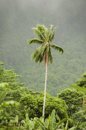 polynesia: Tropical palm in Polynesia