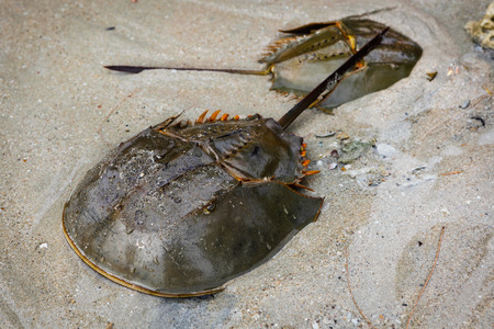 Limulus polyphemus  (lat.- Xiphosura)The Xiphosura are an order of marine chelicerates that includes a large number of extinct lineages and only four extant species in the family Limulidae, which include the horseshoe crabs. The group has hardly changed i Imagens
