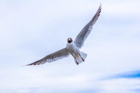 ridibundus: flying Black-headed gull  (Larus ridibundus ) , close-up shot Stock Photo