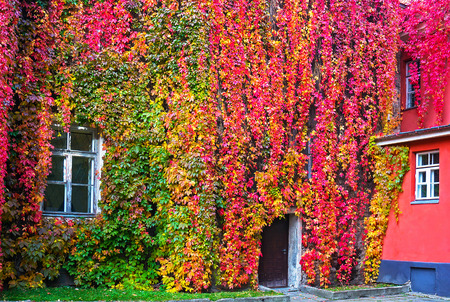 pattern: Parthenocissus with red and yellow autumn leaves on a wall