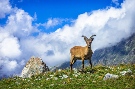 West Caucasian tur (lat. Capra caucasica) stands and looks forward. Its a mountain-dwelling goat-antelope found only in the western half of the Caucasus Mountains range.