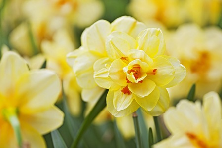 beautiful yellow narcissus bloom in early spring in a city Park, closeup shot