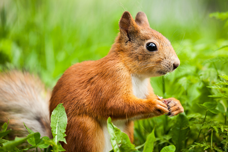 red squirrel Sciurus funny standing on its hind legs Imagens - 51510514