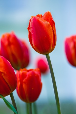 gentle red tulips bloomed in early spring in a city Park, close up shot Imagens
