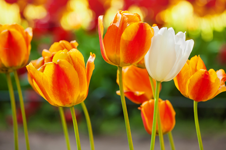 delicate yellow-orange tulips bloomed in early spring in a city Park Imagens