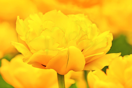 beautiful yellow tulips bloomed in early spring in a city Park, close up shot Imagens