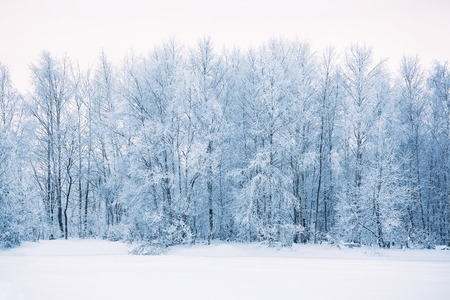Winter forest landscape in Russia