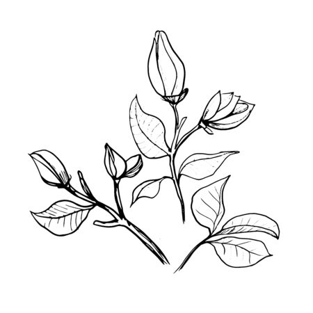 Blossoms of Magnolia. Hand draw sketch. Outline Flower buds and leaves isolated on the white background. Floral element Design for wedding, greeting cards, Monochrome. Black and white. Vector Иллюстрация